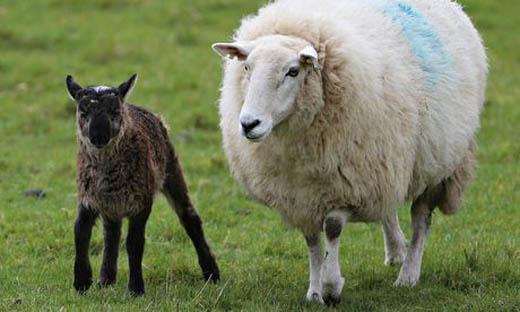 羊とヤギのあいの子